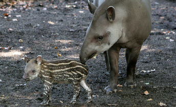Tapirus terrestris3