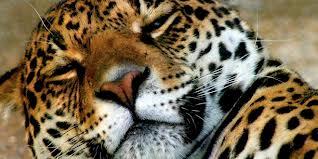 Jaguar durmiendo