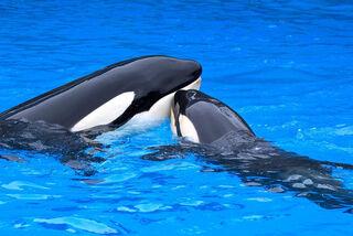 Madre e cria orca
