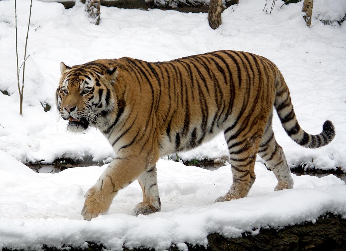 Imagen - Tigre siberiano 5.png   Wiki Reino Animalia   FANDOM ...