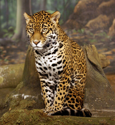 Jaguar hermoso