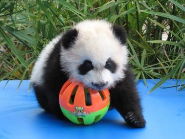 oso panda wiki reino animalia fandom powered by wikia. Black Bedroom Furniture Sets. Home Design Ideas