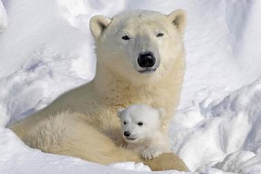Oso polar madre, cria