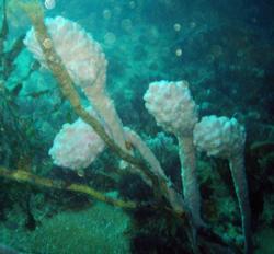 Tulipa marina