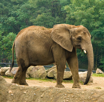 Elefante africano 4