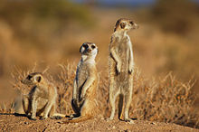 Suricates, Namibia-2