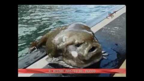 Pez Borrón declarado el animal más feo del mundo