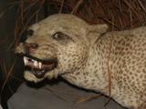 Leopardo de Zanzíbar