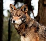 Lobo rojo wiki