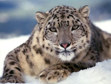 Leopardo de las nieve 2