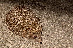 250px-Hedgehog1