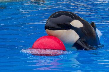 Orca juquetona