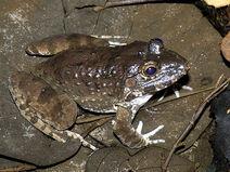 Crab-eating-frog 0253