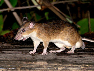 Red-spiny-rat 8404