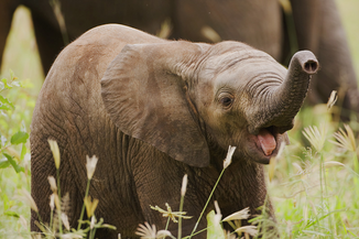 Elefante africano 1