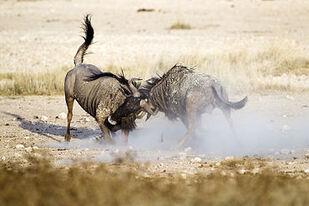 370px-2012-wildebeest-fight