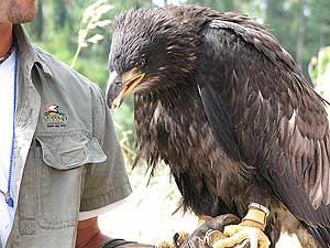 Aguila calva joven