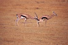 220px-Gazelle Checking Estrus