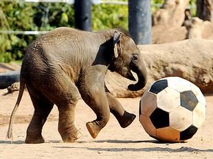 Elefante asiatico 10