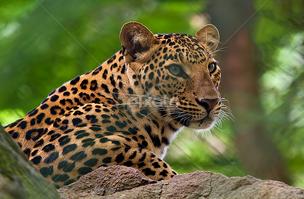Leopardo indio 10