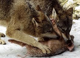 Lobos comiendo