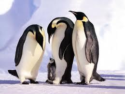 Pinguino emperador