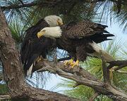Aguila calva macho y hembra