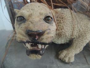 Leopardo de zanzibar 4