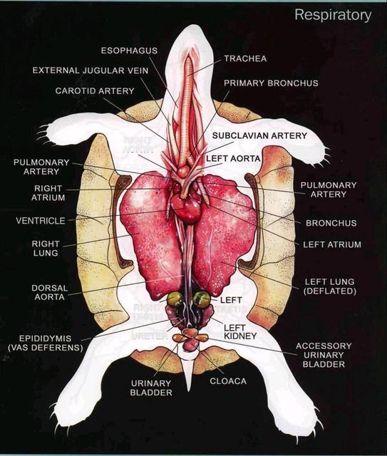Aparato respiratorio de una tortuga