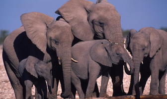 Elefante africano 3