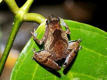 Pothole-chorus-frog 5816a