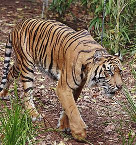 Tigre de sumatra 4