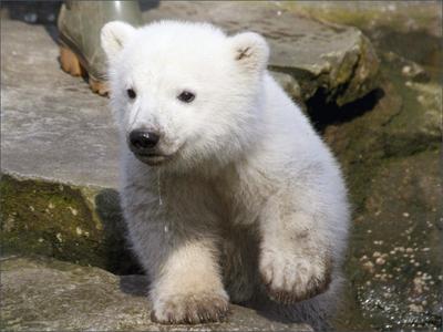 Cría oso polar