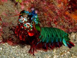 Mantis aplastadora 3