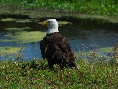Aguila calva3
