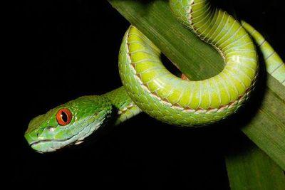 vibora verde de ojos de rubí wiki reino animalia fandom powered