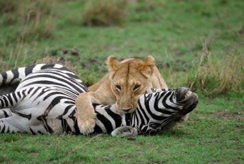 Leona y zebra