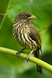 Cigua-palmera-ave-nacional-dominicana