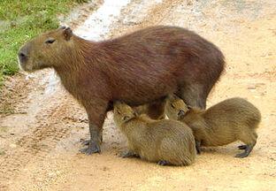 Capibara 2 edit
