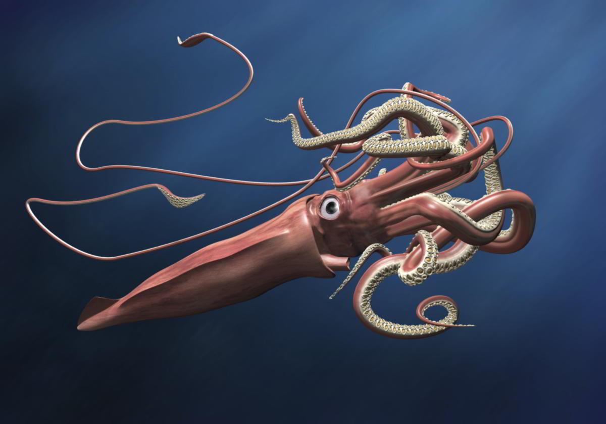 Calamar Gigante del Atlántico | Wiki Reino Animalia | FANDOM powered ...