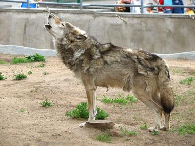 Lobo aullando 1
