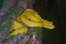 220px-Bothriechis schlegelii yellow morph