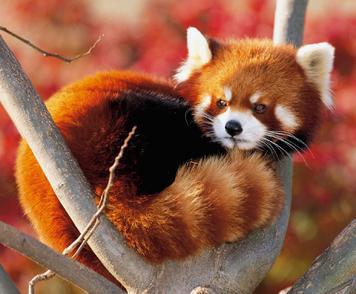 Panda rojo 1