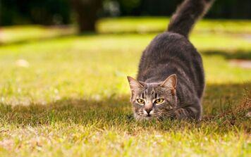 Gato posicion de cacería