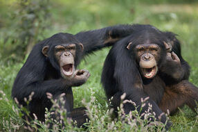 Chimpanzees-pan-troglodytes-calling-cyril-ruoso