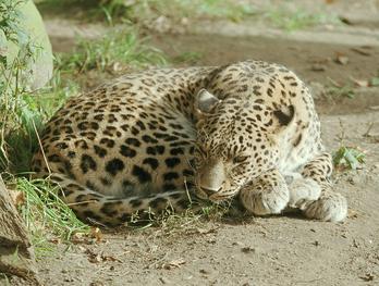 Leopardo caucasico 4