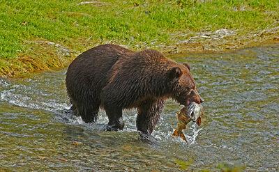Oso pardo pescando