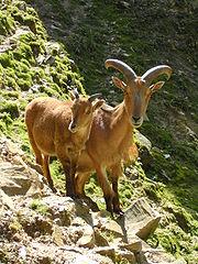 180px-Mouflons-Manchettes
