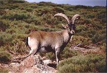 250px-Capra pyrenaica