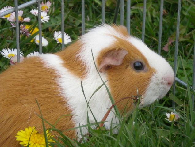 Conejillo de Indias | Wiki Reino Animalia | FANDOM powered by Wikia